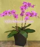 Premium Purple Orchid