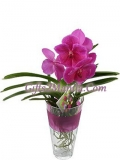 Vivid Pink Orchid